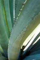 Primer plano de plantas suculentas, espinas y detalles sobre las hojas de la planta de agave foto