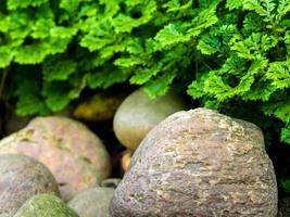 Freshness Selaginella involvens fern on river rock photo