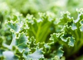 Ornamental Kale and cabbage photo