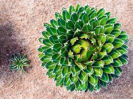Detalle de hojas frescas de agave victoriae reginae foto