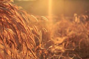 Flower grass background and sunset light photo