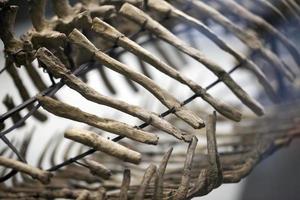 fósil de esqueleto de dinosaurio prehistórico antiguo foto