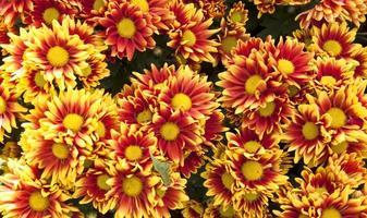 Yellow chrysanthemums daisy flower background photo