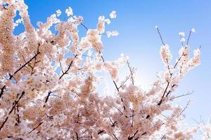 Cherry Blossoms at Tidal Basin. photo