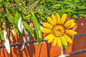 Cerrar flor de gazania amarilla en la naturaleza foto