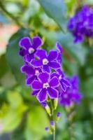 Duranta erecta flores púrpura en la naturaleza foto