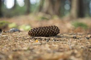 cono de pino yace en el suelo foto