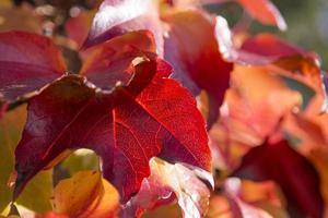 Autumn backlit red vine leaves photo
