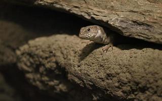Timon pater in terrarium photo