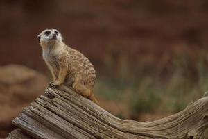 Portrait of Meerkat photo