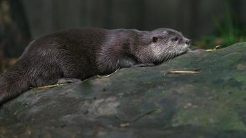 Asian small clawed otter photo