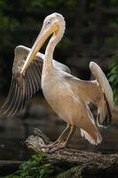 Great white pelican photo