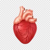 Realistic Human Heart vector
