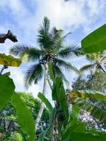 bottom view on palm tree. rainforest in Zanzibar. travel to an exotic country photo