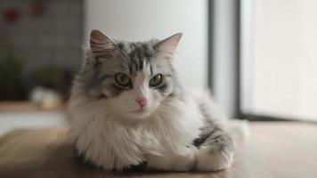 Primer plano de un hermoso gato adulto de pelo largo gris blanco, que mira directamente a la cámara y levanta la cabeza con interés. el gato se acuesta en la mesa cerca de la ventana. foto