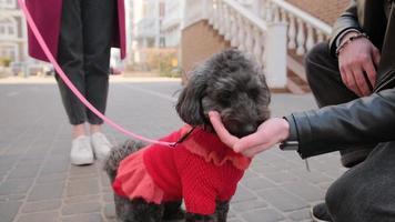 Linda mascota caniche sentada en la acera. buen perro comiendo de la mano, lamiendo la mano. Hora de verano. foto