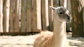 The llama chews. The Lama looks into the frame. Large animal head. photo