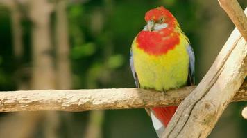 una rosella oriental de color rojo brillante y amarillo foto