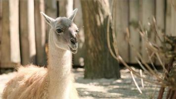 The lama chews. The Lama looks into the frame. Large animal head. High quality 4K photo