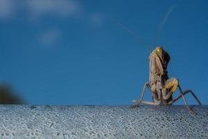 Dead Leaf Praying Mantis - Mantis religiosa in forest photo