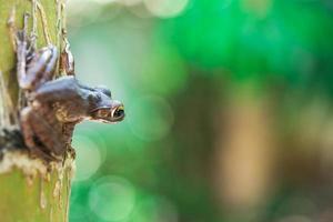 Common tree frog Polypedates leucomystax in terrarium photo