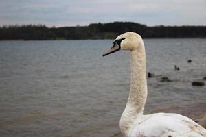 Long neck of a swan on the shore of a reservoir photo
