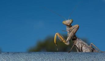 Mantis religiosa de hoja muerta - Mantis religiosa en el bosque foto