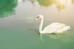 Graceful swan floating in the emerald green lake photo