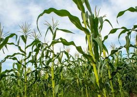maíz bebé en la granja de maíz en el campo foto
