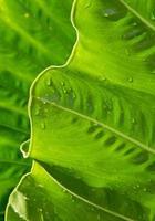 Freshness Leaf of Great Caladium photo