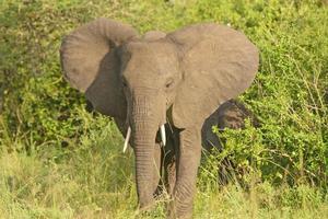 afircan elefante en bush foto