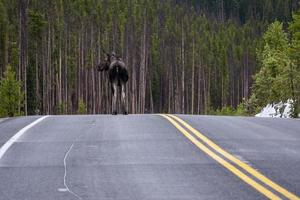 Moose on Trail Ridge Road photo