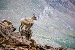 Bighorn Sheep Mother With Kid photo