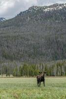 Moose in Rocky Mountain National Park photo