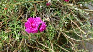 Caterpillar perched on a beautiful pink color flower, zoom in effect. video