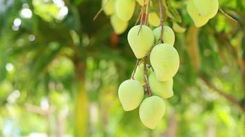 mangos verdes tupidos y fondo verde video