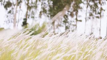 Silver grass flower blowing in the wind, silver grass flower video