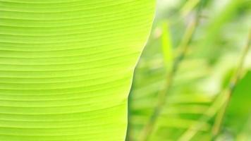 chovendo em folhas verdes de bananeira na estação das chuvas video