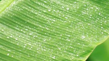 raining on green banana leaves in the rainy season video