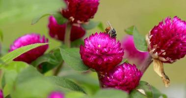 Bee gathering pollen video