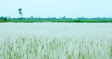 la hierba blanca ondeando al viento. video