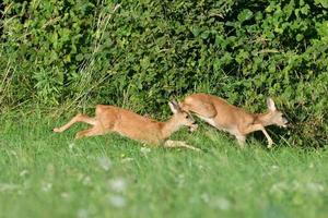 Roe deer jump into the forest before the danger from the meadow photo