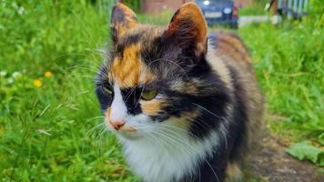 Fluffy domestic cat walking on green grass in the summer video