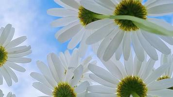 Bottom view of white daisies. Chamomiles against  blue sky. video