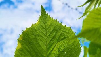 feuilles vertes fraîches sur fond de ciel bleu. toile de fond d'été. video