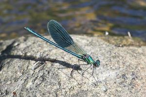 Damselfly in its environment photo