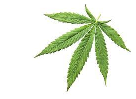 hojas de cannabis verde sobre fondo blanco. foto