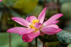 Pink Lotus close-up photo
