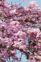 Malaysian Sakura Blooming photo