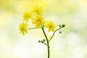 crepis biennis, rama con capullos y flores de áspera hawksbeard foto